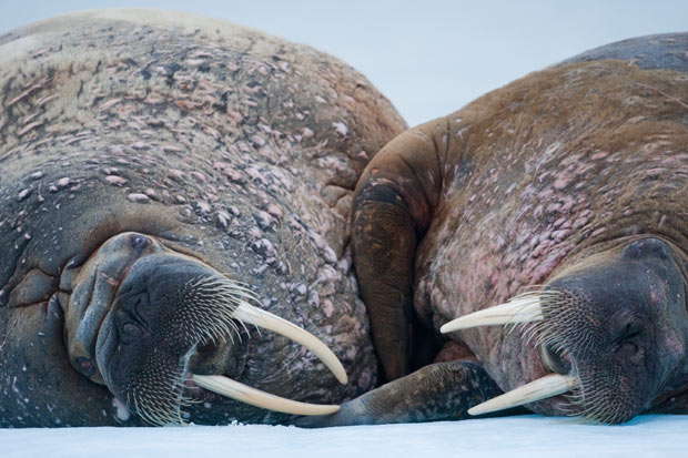 Day4.two-walruses_1910203i